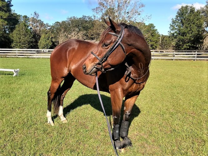 Beautiful bay thoroughbred mare with bridle and lunge line