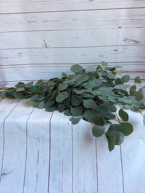 Silver DollarEucalyptus