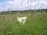Dropwort Filipendula vulgaris Camp Down