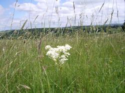 Dropwort, Filipendula vulgaris