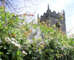 Silky webs adorn church hedge 2