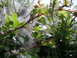 Silky webs adorn church hedge 1