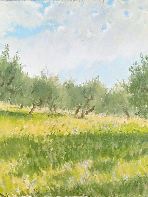 Olive Trees near Pievecchia, Italy