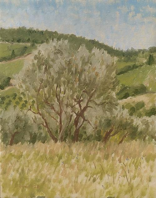 Olive Trees near Nipozzano, Italy