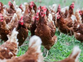 Pasture-raised hens in Rio