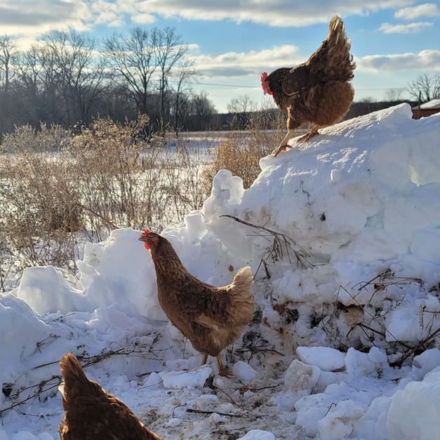 Hens love plows