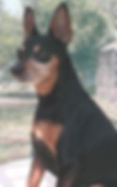 I am a miniature Pinscher