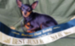 Min Pin pup potential  show dog