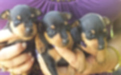 Black and Tan Female Miniature Pinschers