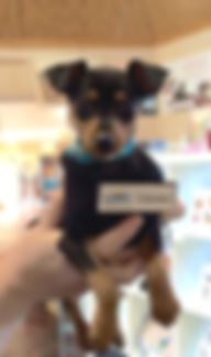 shiralea mniature pinscher