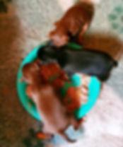 Min Pin pups first feed.jpg