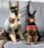 Schnauzer and Miniature Pinscher