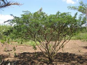 Mimosa hostilis history and uses.