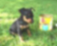 miniatur pinscher puppy