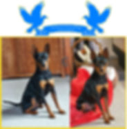 shiralea miniature pinscher stud dogs 2020