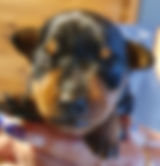 black and tan miniature pinscher pup