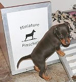 shiralea miniature pinscher