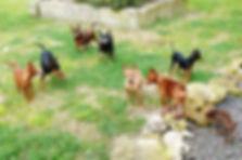 Miniature Pinscher group