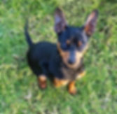 B&T Miniature Pinscher
