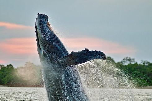 Ballena Humpback con Coral Dreams.jpg