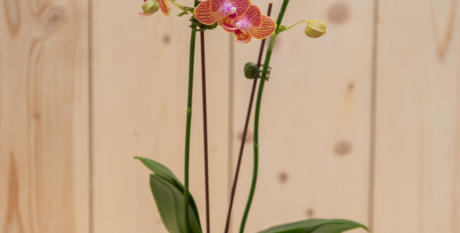 Baby orchid