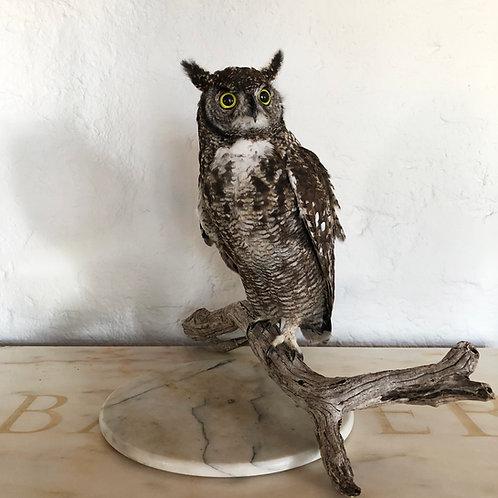 Cape Eagle Owl Taxidermy