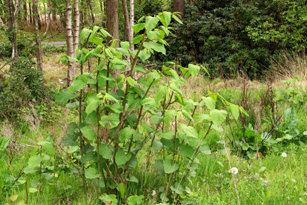 JAPANESE KNOTWEED - THE FACTS