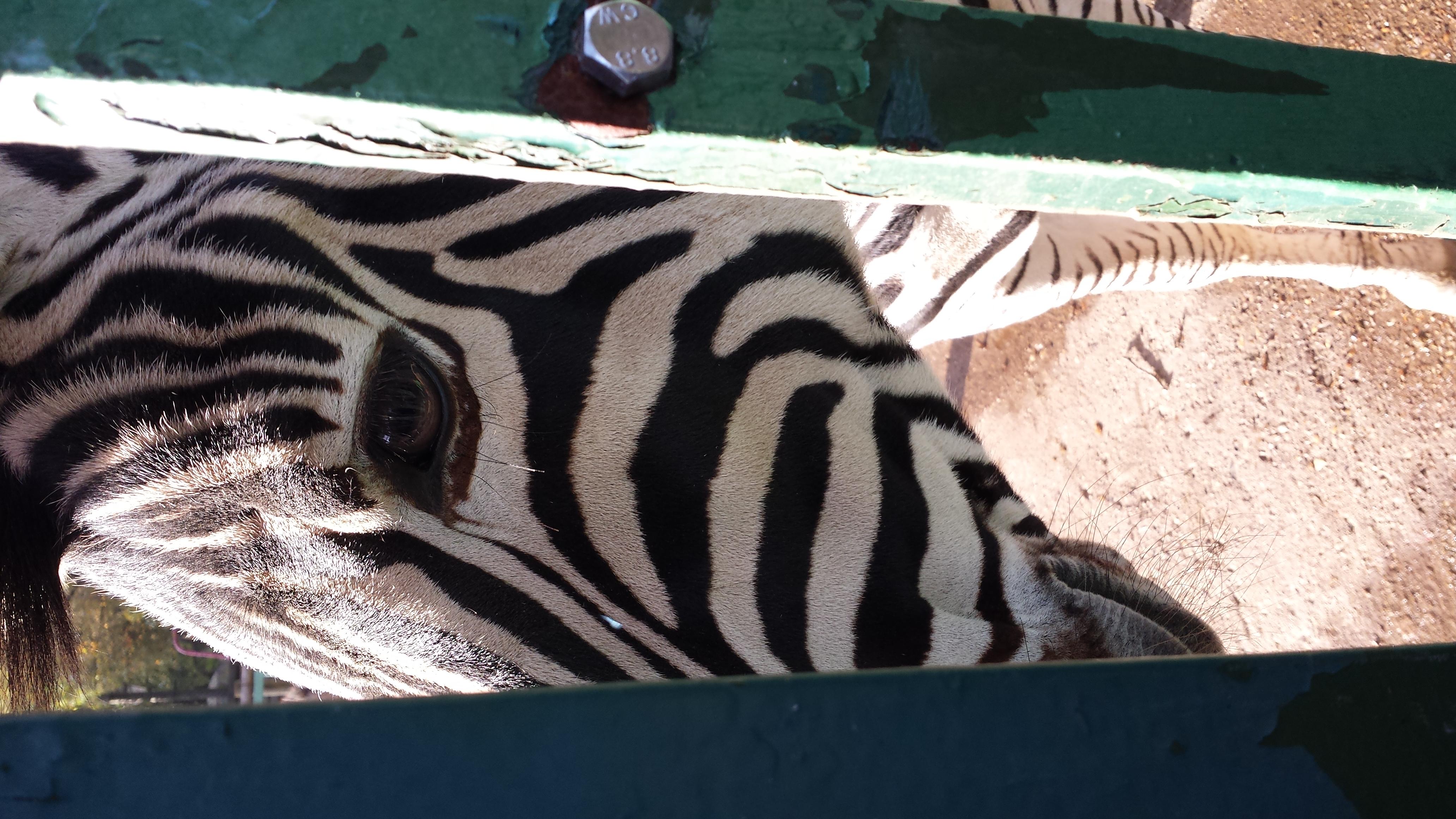 curious-zebra_10862699954_o