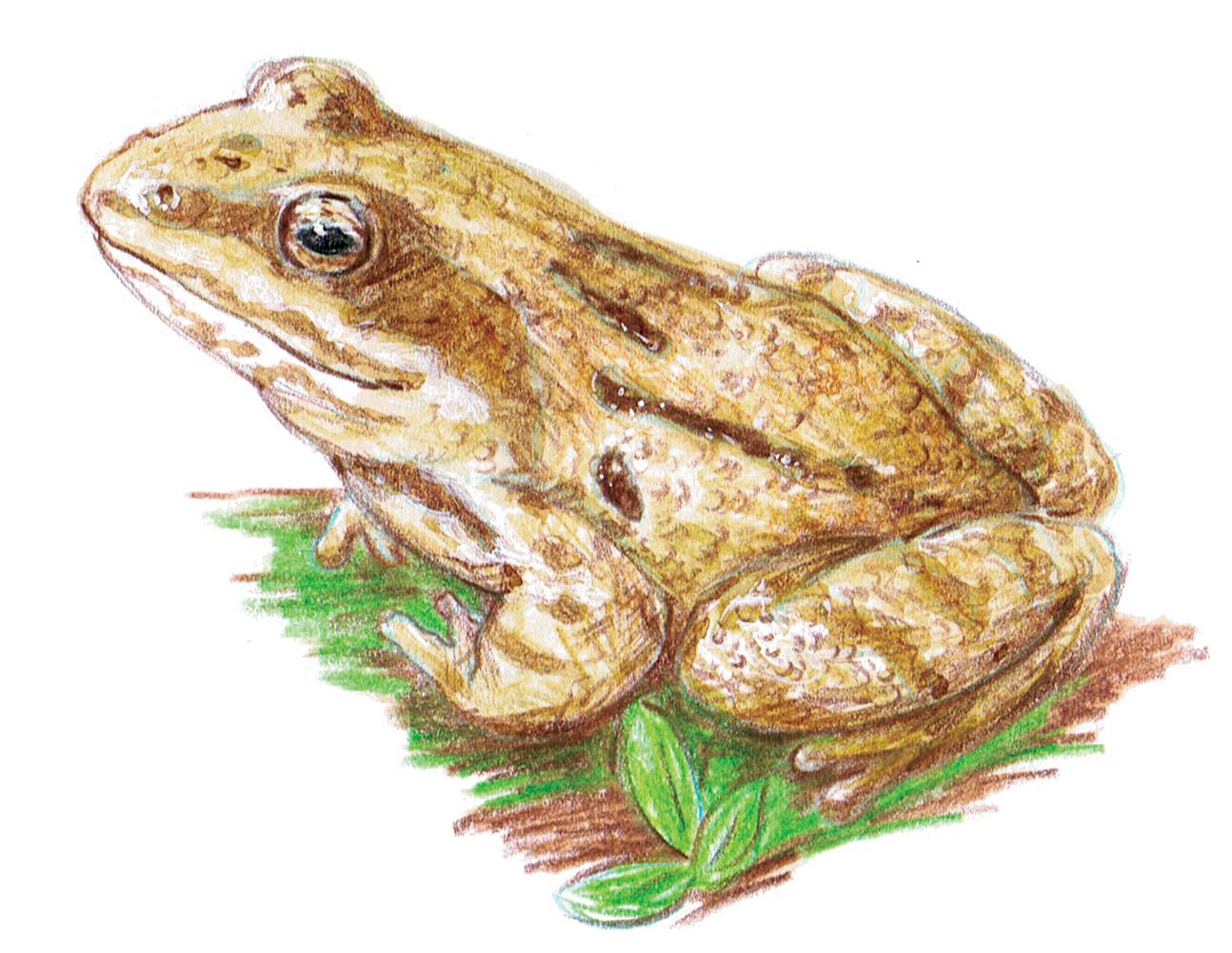 grenouille roussette