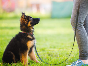 Yavru Köpek Eğitimi İçin 10 Öneri