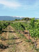 Vue imprenable sur le Ventoux depuis les vignes d'Olivier B
