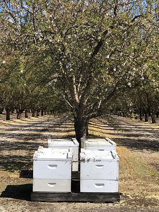 Bees_Almond Farm- photo credit V. Espino