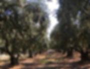 OliveTreeDirect - Select your tree