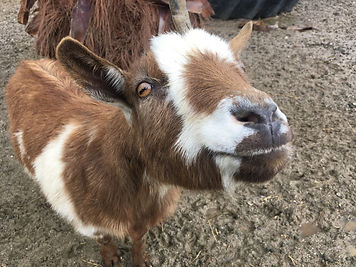 Goat from FEC petting zoo.jpg