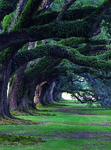 old oak trees, Louisiana.jpg