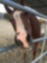 Oakie nose through fencing.jpg