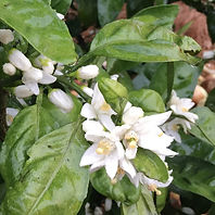 mikan-fresh-flower_edited.jpg
