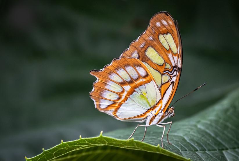 PDI - Malachite Butterfly by Pauline McAleese (13 marks)