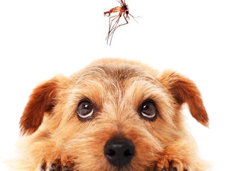 Leishmaniose Viceral Canina