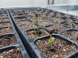 Ponderosa pine sprouts