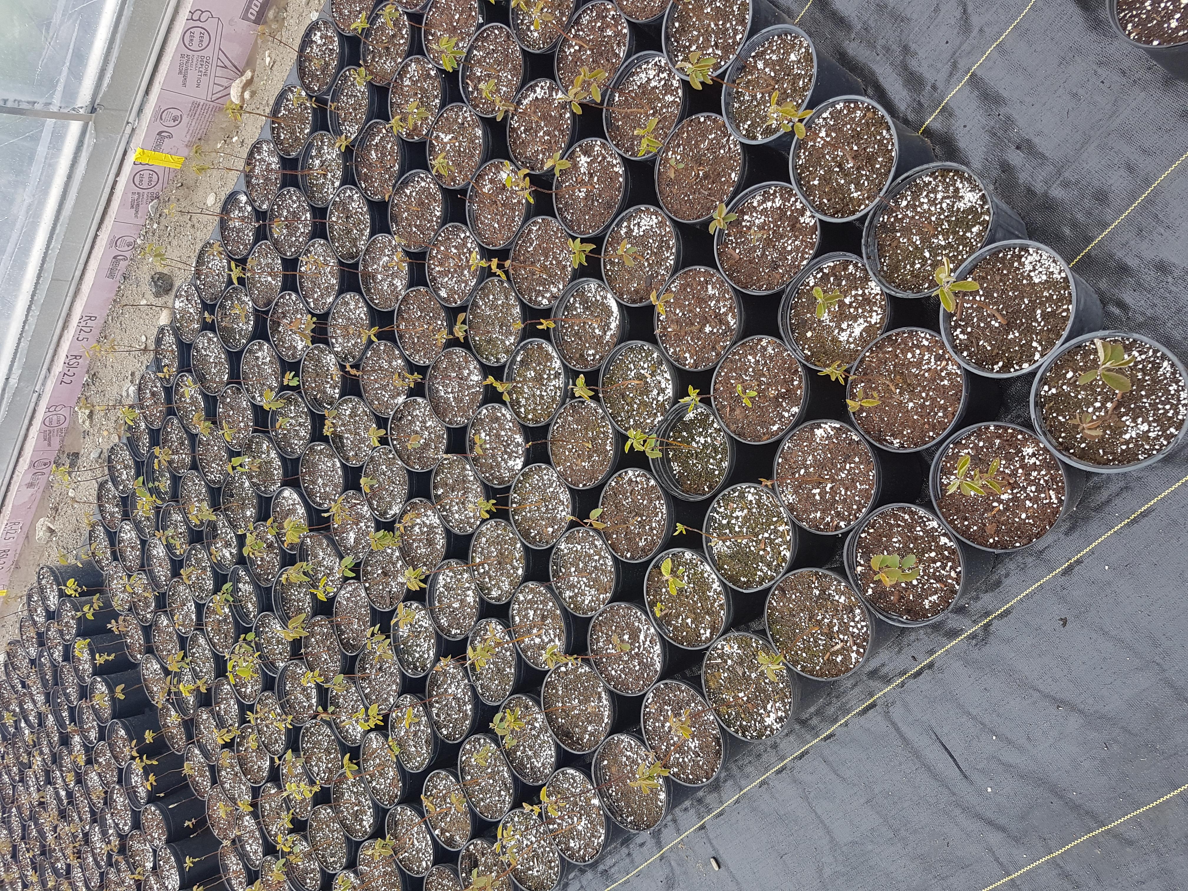 Saskatoon seedlings