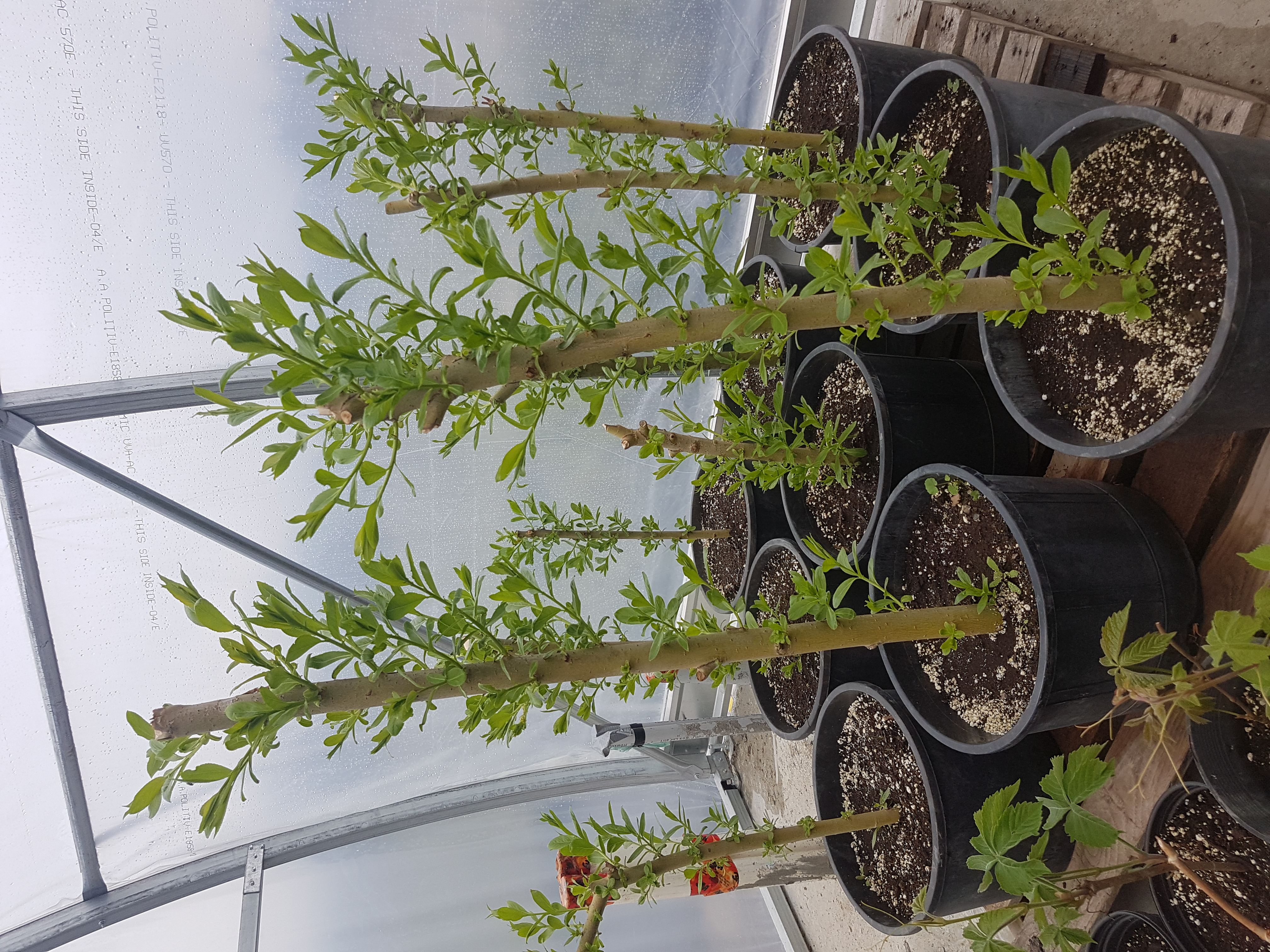 Pacific willow cuttings