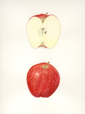 Botanical Apple