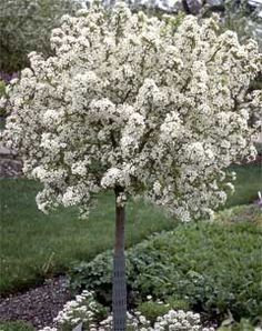 Ornamental Tree-Wellness Garden Donation