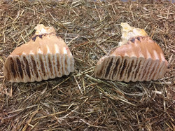 Elephant teeth - ZSL Whipsnade Zoo