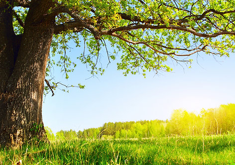 Весенний луг с большим деревом со свежими зелеными листьями