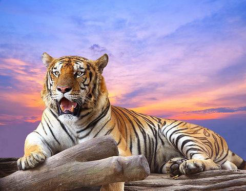 Тигр на скале с красивым небом во время заката
