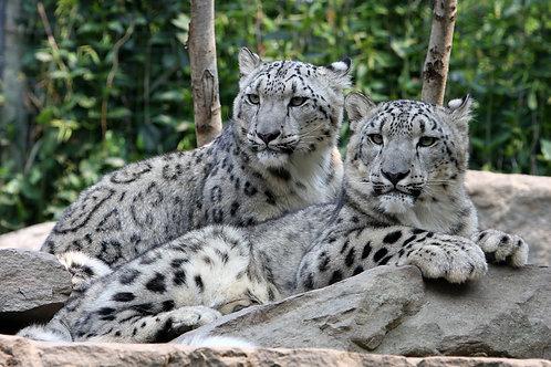 Белый гепард