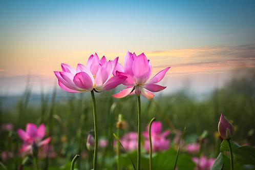Цветок лотоса на закате
