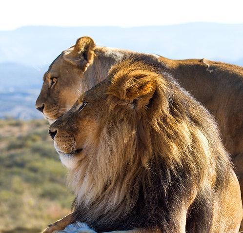 Король диких львов
